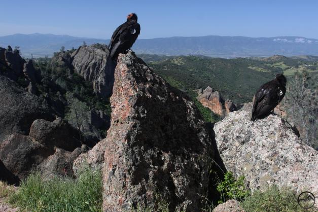Coast Range South, Pinnacles - April2016 054 (Custom)