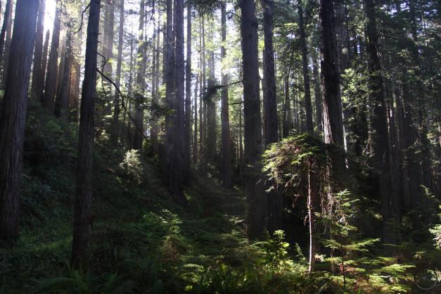 Coast Range North, Redwoods - May 2016 153 (Custom)